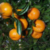 Professinal Exporter para Fresh Baby Mandarin