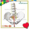 Construcción humana del hueso de la vértebra lumbar con el modelo anatómico de la educación de 5 scleromeres (pH03-068)