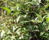 Natürliches Zubehör Extractum KrautSwertia Mileensis Auszug-Puder