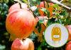 Alto petróleo de germen natural de la granada del ácido el 75% de Punicic