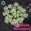 Fructus Cnidii Auszug/Cnidium Monnieri Auszug/Osthole