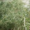 Efficaci erbe Gojiberry nero della nespola