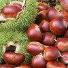 40-60PCS/Kg voor Fresh Red Chestnut