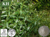 Extracto Andrographolide de Andrographis Paniculata de la alta calidad
