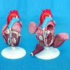 Model van de Demonstratie van het hart het Anatomische voor het Medische Onderwijs (R120104)