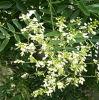 Sophora Japonica 추출 분말 또는 Tagetes Erecta L