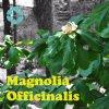 Magnolie-Barke-Auszug