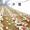 Automatisches Poultry House Equipment für Broiler Production