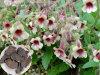 底のRehmanniaeの粉か付着力のRehmanniaのルート塊茎のエキス