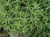 工場自然なSedum Sarmentosumのエキスの粉