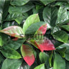 인공적인 녹색 산울타리 옥외 철회 가능한 담