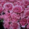 クンミンユンナン中国からの広く供給制限のみずみずしい花の新しいカーネーションの花