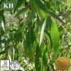 10:1 dell'estratto del foglio dell'eucalyptus di alta qualità del rifornimento