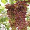 Ormoni di pianta di Qfg Brassinolide 90% TC