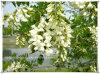 Poudre normale d'extrait de Flos Sophorae de fleur de Sophora