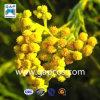 Organischer Helichrysum Italicum wesentliches Schmieröl