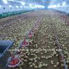 Equipamento automático das aves domésticas para a exploração agrícola da grelha