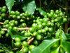 Chlorogenic酸、緑のコーヒー豆のエキスおよびスイカズラのエキス