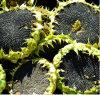 Bakery Gradeの2015年の中国Sunflower Seeds