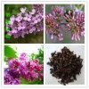고품질 Syzygium Aromaticum/정향나무 과일 추출