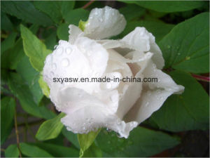 Natural 10% 98% Paeoniflorin CAS No 23180-57-6 pictures & photos