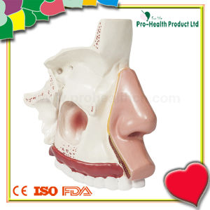 Nasal Anatomy Model for Medical Teaching pictures & photos