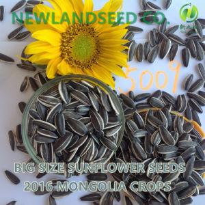 2016 Wholesale Heath and Organic Sunflower Seeds 5009 to World
