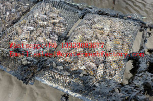 Low Price Plastic Mesh for Oyster Farm, Oyster Tumbler (Made in China) pictures & photos