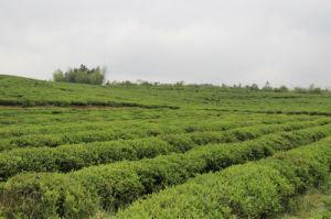 Chunmee 4011 Africa Market Tea 9371 Drink Tea Green Tea pictures & photos