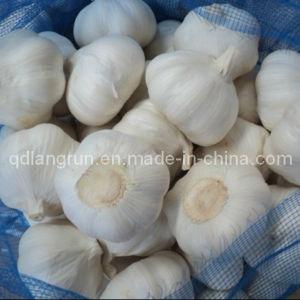5.0cm Pure White Garlic 2014 New Crop