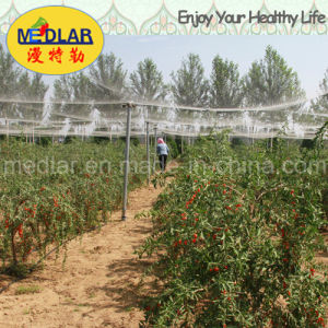 Medlar Glycine Betaine Vitamin Polysaccharides Wolfberrry Fruit