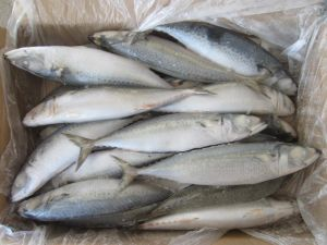 Whole Round Pacific Mackerel with 250-350g pictures & photos