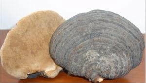 Phellinus Igniarius Powder (Common Phellinus Fungus)
