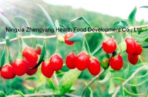 Organic Goji Berry Rich in Selenium