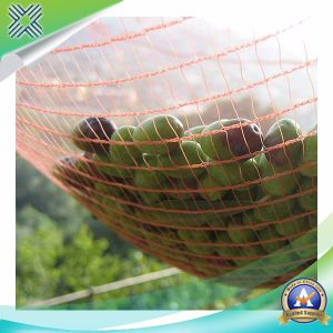 Collecting Olive Netting pictures & photos