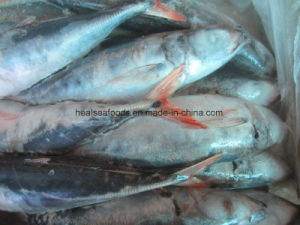 30cm+ Red Tail Horse Mackerel pictures & photos