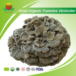 Manufacture Supply Organic Dried Trametes Versicolor pictures & photos