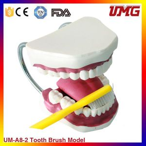 Advanced Teeth Brushing Model Dental Manikin Teeth pictures & photos