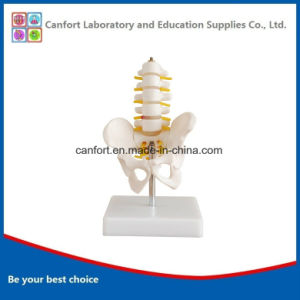 Teaching Skeleton Model Small Size Pelvic Girdle Five Lumbar Spine Model pictures & photos
