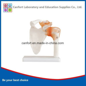 Hot Sale Anatomy Model Natural Shoulder Joint Model pictures & photos