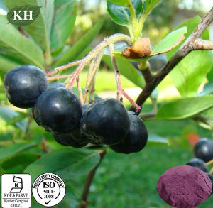 Pure Natural Black Chokeberry Extract Polyphenol 10%-30%; Anthocyanidin 1% ~ 25% pictures & photos