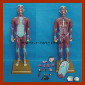 85cm Human Muscular Torso with Internal Organs Anatomy Model (17 PCS) pictures & photos