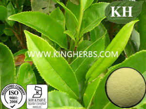 Polyphenols 95%, Catechins 70%, EGCG 30% Green Tea Extract pictures & photos