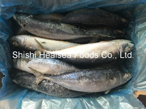 Nice Freshs′ Chinese Mackerel for Human Consumption pictures & photos