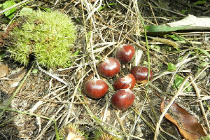 New Crop Fresh Chestnuts--Origin Hebei