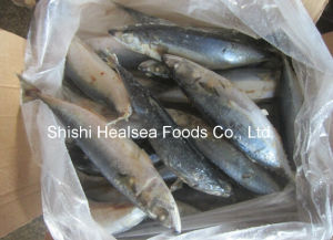 400-600g Chub Mackerel with Amazing Fresh pictures & photos