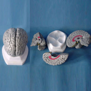Medical Teaching Lab Science Supply Human Brain Anatomical Model (R050103)