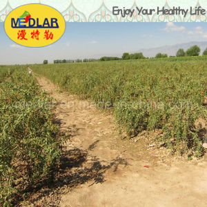 Medlar Lbp Brc ISO 9001 Kosher Dried Goji Berry