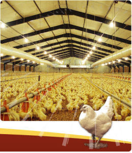 Chicken Farm/Chicken House with H Cage Full Set Automatic Equipment pictures & photos