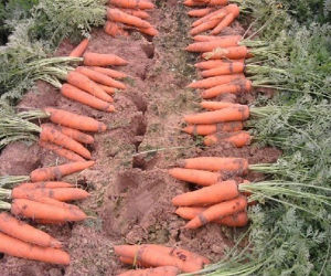 Fresh Carrots /Natural Fresh Carrots From China pictures & photos